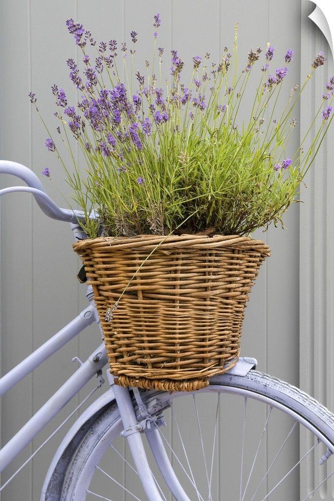 wand abziehbild entitled Bicycle basket pflanzeed with lavender