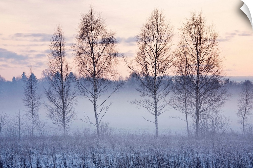 Wall Decal entitled Birch trees in evening fog