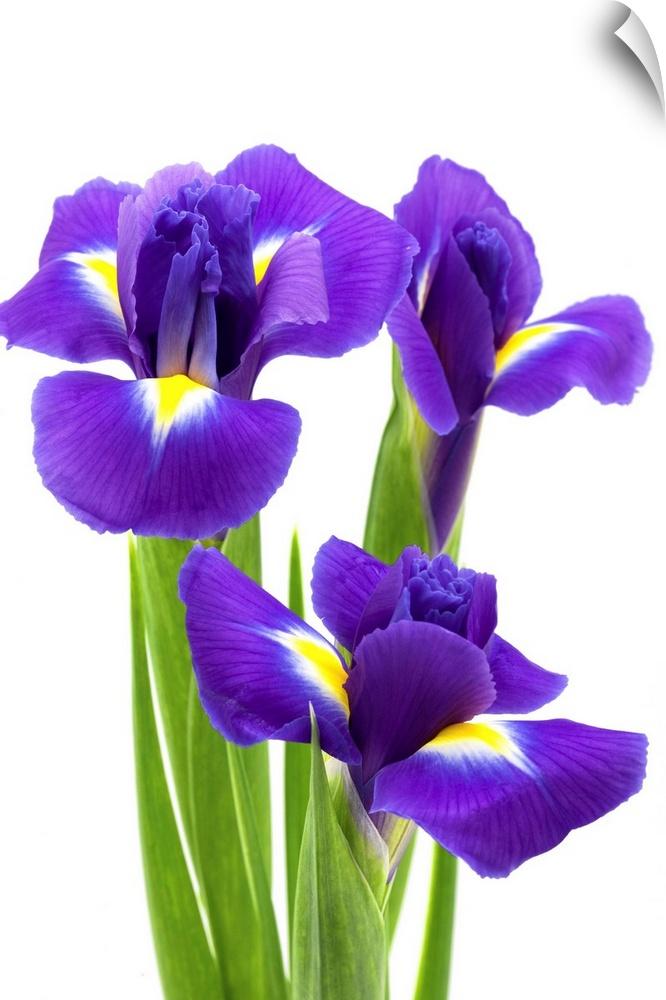 wand abziehbild entitled Blau iris