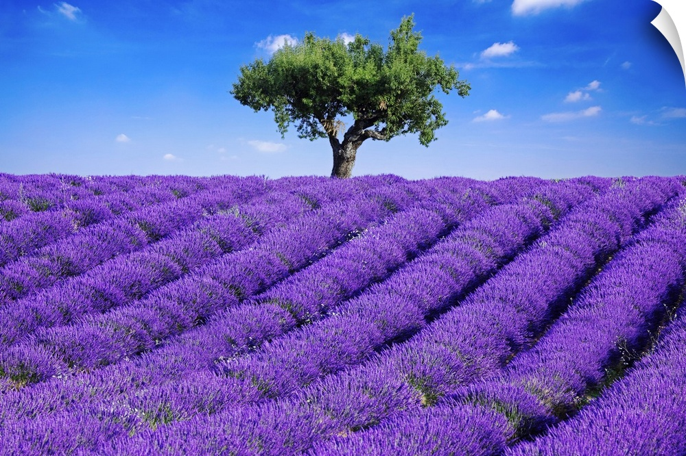 Wall Decal entitled Lavender field in summer with one tree. Haute Provence,