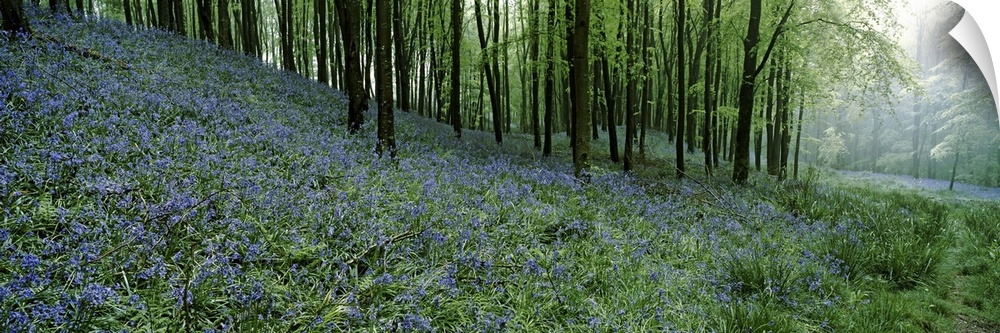 Wall Decal entitled blubell Wood near Beaminster, Dorset, England