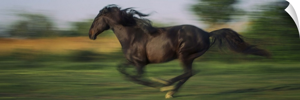 Wall Decal entitled Horse running at full speed in the south of France