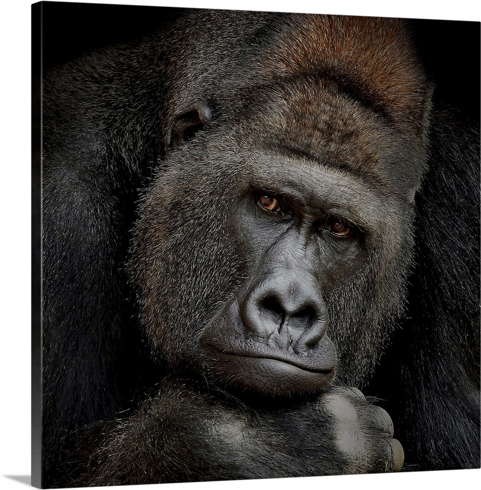 Large Solid-Faced Canvas Print Wall Art Print 20 x 20 entitled One Moment In Contact Solid-Faced Canvas Print entitled One Moment In Contact.  A portrait of a gorilla gazing intently at the camera.  Multiple sizes available.  Primary colors within this image include Black, Gray.  Made in USA.  Satisfaction guaranteed.  Inks used are latex-based and designed to last.  Canvas is handcrafted and made-to-order in the United States using high quality artist-grade canvas.  Archival inks prevent fading and preserve as much fine detail as possible with no over-saturation or color shifting.