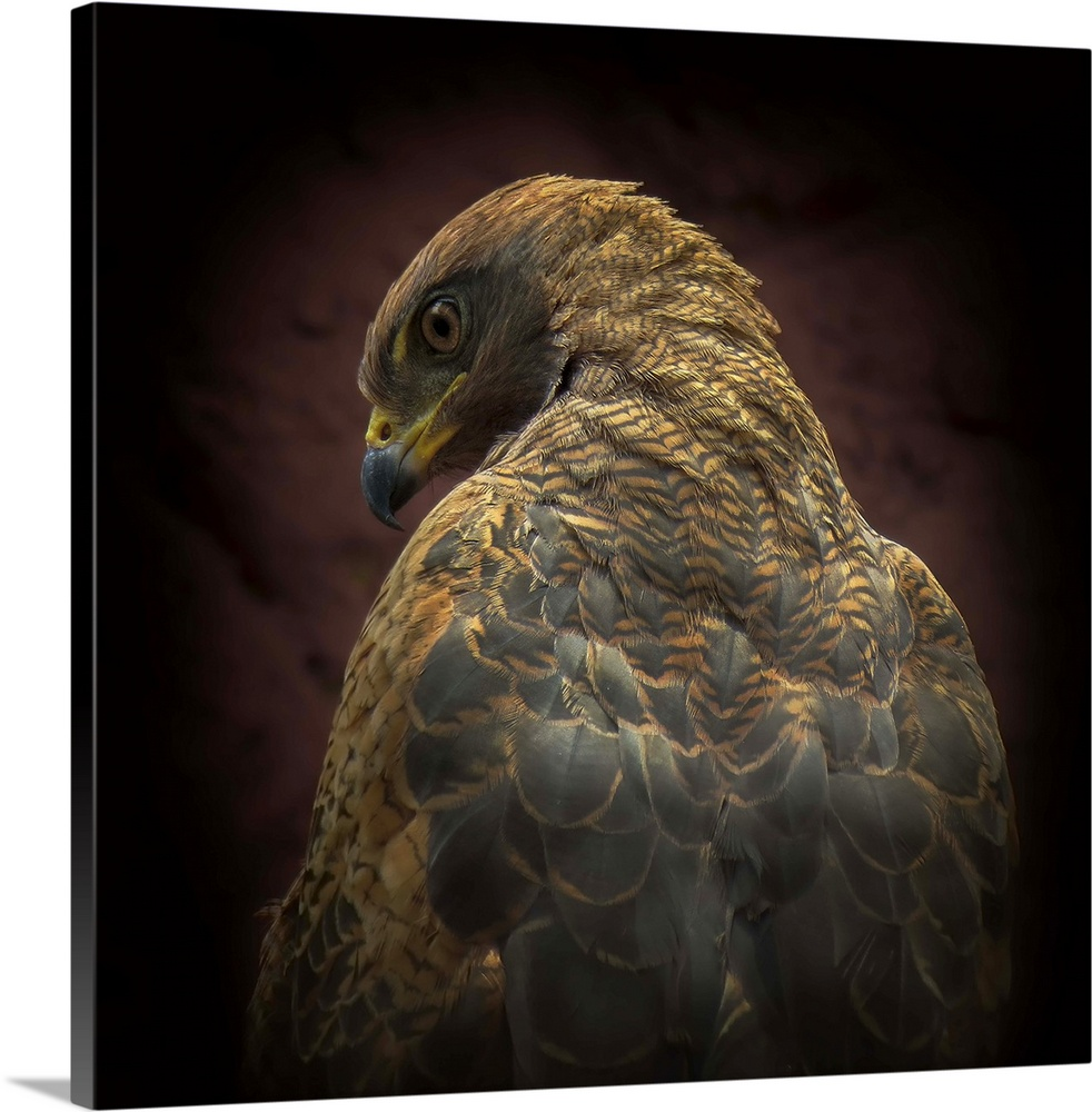 Large Solid-Faced Canvas Print Wall Art Print 20 x 20 entitled Somebody watch me Solid-Faced Canvas Print entitled Somebody watch me.  A portrait of a hawk from behind with it looking over its shoulder a the camera.  Multiple sizes available.  Primary colors within this image include Peach, Black, Dark Forest Green.  Made in the USA.  Satisfaction guaranteed.  Archival-quality UV-resistant inks.  Featuring a proprietary design, our canvases produce the tightest corners without any bubbles, ripples, or bumps and will not warp or sag over time.  Canvas depth is 1.25 and includes a finished backing with pre-installed hanging hardware.