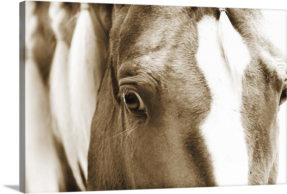 Large Solid-Faced Canvas Print Wall Art Print 30 x 20 entitled Braided Mane Sepia II Solid-Faced Canvas Print entitled Braided Mane Sepia II.  Sepia toned close-up photograph of a horse gazing into the camera. With a braided mane.  Multiple sizes available.  Primary colors within this image include Black, Gray, White.  Made in USA.  Satisfaction guaranteed.  Inks used are latex-based and designed to last.  Canvas is handcrafted and made-to-order in the United States using high quality artist-grade canvas.  Canvas depth is 1.25 and includes a finished backing with pre-installed hanging hardware.