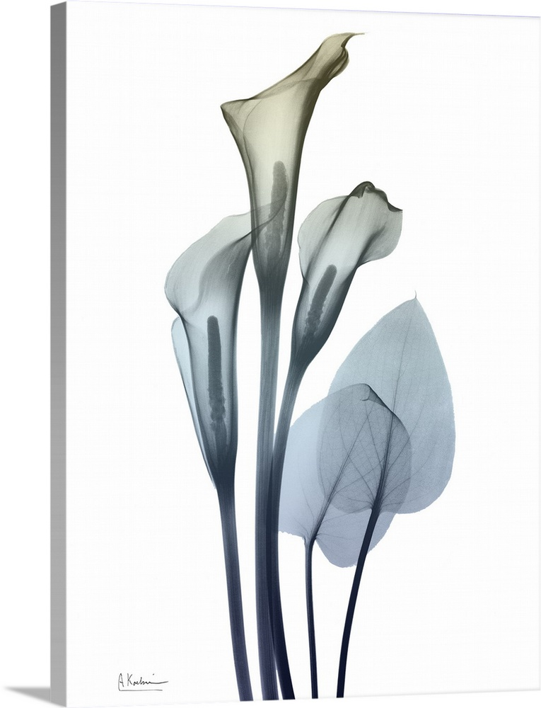 Solid-Faced Canvas Print Wall Art entitled Ombre Expression 2_Calla Lily 2