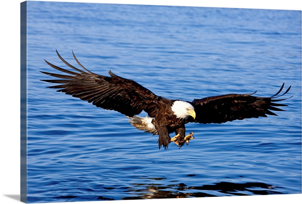Large Solid-Faced Canvas Print Wall Art Print 30 x 20 entitled A bald eagle swoops in with talons extended to catch a fish... Solid-Faced Canvas Print entitled A bald eagle swoops in with talons extended to catch a fish in Southeast, Alaska.  Multiple sizes available.  Primary colors within this image include Dark Blue, Peach, Sky Blue, Black.  Made in the USA.  All products come with a 365 day workmanship guarantee.  Archival-quality UV-resistant inks.  Canvas depth is 1.25 and includes a finished backing with pre-installed hanging hardware.  Canvas is handcrafted and made-to-order in the United States using high quality artist-grade canvas.