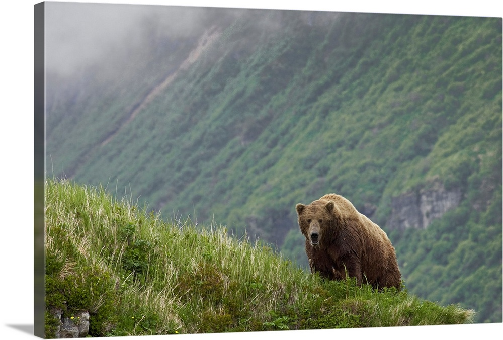 Large Solid-Faced Canvas Print Wall Art Print 30 x 20 entitled A brown bear stands on a ridge in Amalik Bay near Geographi... Solid-Faced Canvas Print entitled A brown bear stands on a ridge in Amalik Bay near Geographic Harbor on the Katmai coast.  Multiple sizes available.  Primary colors within this image include Light Gray, Dark Forest Green.  Made in USA.  Satisfaction guaranteed.  Archival-quality UV-resistant inks.  Featuring a proprietary design, our canvases produce the tightest corners without any bubbles, ripples, or bumps and will not warp or sag over time.  Canvas is handcrafted and made-to-order in the United States using high quality artist-grade canvas.