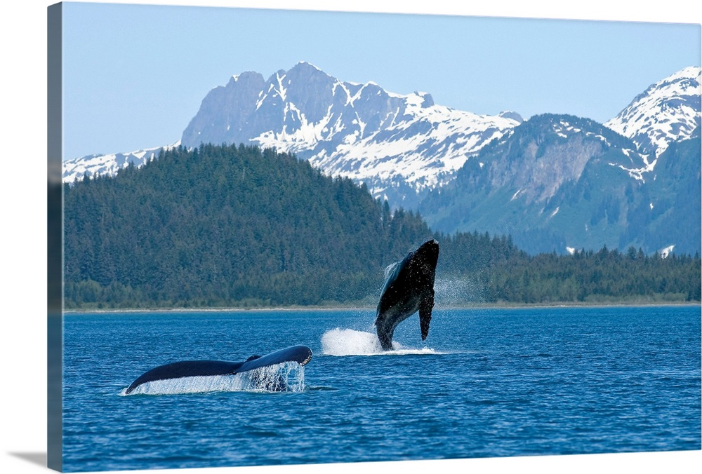 Large Gallery-Wrapped Canvas Wall Art Print 24 x 16 entitled A humpback whale calf breaches as its mother swims nearby, Du... Gallery-Wrapped Canvas entitled A humpback whale calf breaches as its mother swims nearby Dundas Bay Alaska.  Multiple sizes available.  Primary colors within this image include Black Muted Blue Pale Blue.  Made in the USA.  Satisfaction guaranteed.  Inks used are latex-based and designed to last.  Museum-quality artist-grade canvas mounted on sturdy wooden stretcher bars 1.5 thick.  Comes ready to hang.  Canvas is a 65 polyester 35 cotton base with two acrylic latex primer basecoats and a semi-gloss inkjet receptive topcoat.