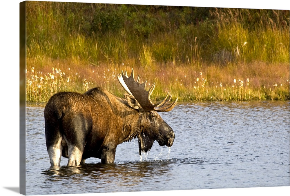 Large Gallery-Wrapped Canvas Wall Art Print 24 x 16 entitled A large bull moose wades through a permafrost pond in Denali ... Gallery-Wrapped Canvas entitled A large bull moose wades through a permafrost pond in Denali National Park.  This Alaskan wall art is a moose that is looking back at the camera as he crosses water to reach the opposite shore covered with grass.  Multiple sizes available.  Primary colors within this image include Brown Peach Dark Forest Green Pale Blue.  Made in the USA.  Satisfaction guaranteed.  Inks used are latex-based and designed to last.  Canvas is a 65 polyester 35 cotton base with two acrylic latex primer basecoats and a semi-gloss inkjet receptive topcoat.  Canvas is acid-free and 20 millimeters thick.