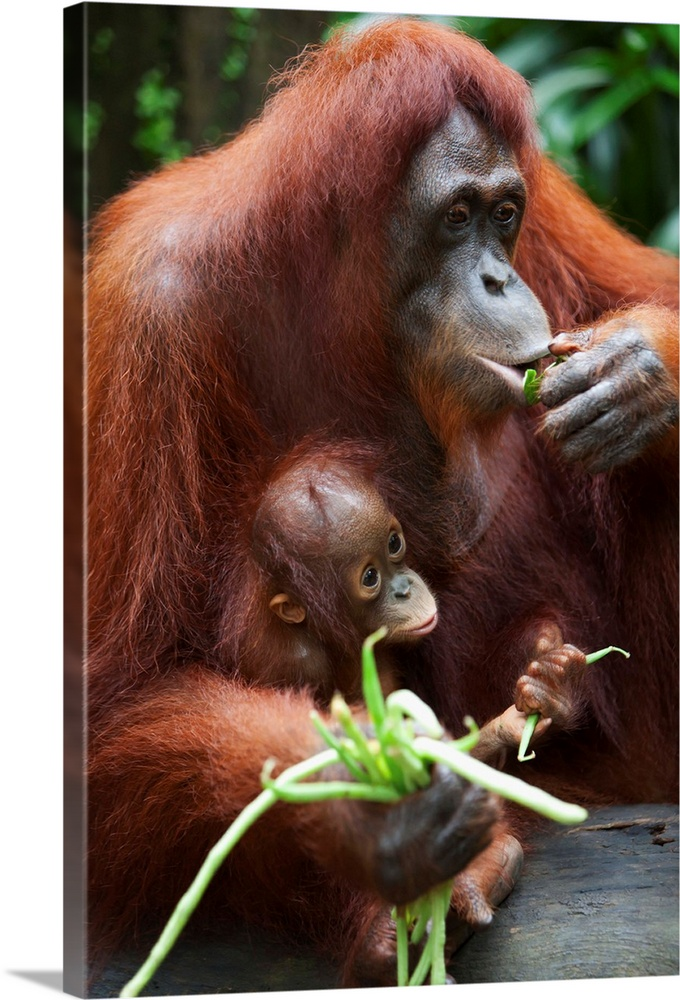 Large Gallery-Wrapped Canvas Wall Art Print 16 x 24 entitled A Mother Orangutan Eats Vegetables With Her Baby; Singapore Gallery-Wrapped Canvas entitled A Mother Orangutan Eats Vegetables With Her Baby Singapore.  Multiple sizes available.  Primary colors within this image include Light Gray Dark Forest Green Lime Green.  Made in USA.  Satisfaction guaranteed.  Archival-quality UV-resistant inks.  Canvases are stretched across a 1.5 inch thick wooden frame with easy-to-mount hanging hardware.  Canvas frames are built with farmed or reclaimed domestic pine or poplar wood.
