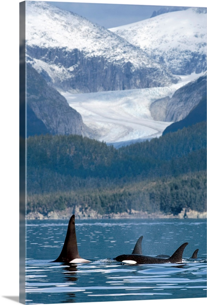 Large Solid-Faced Canvas Print Wall Art Print 20 x 30 entitled A pod of Orca whales surface in Favorite Passage near Eagle... Solid-Faced Canvas Print entitled A pod of Orca whales surface in Favorite Passage near Eagle Glacier and Coast Range.  Multiple sizes available.  Primary colors within this image include Black, Muted Blue, Pale Blue.  Made in USA.  Satisfaction guaranteed.  Archival-quality UV-resistant inks.  Canvas depth is 1.25 and includes a finished backing with pre-installed hanging hardware.  Canvas is handcrafted and made-to-order in the United States using high quality artist-grade canvas.