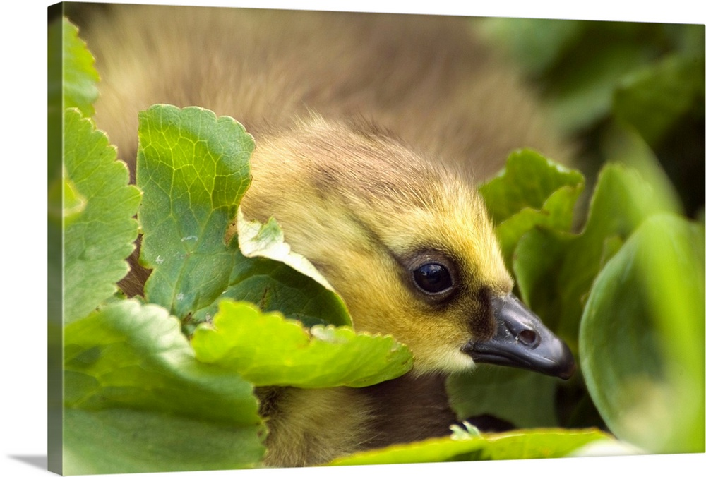 Large Solid-Faced Canvas Print Wall Art Print 30 x 20 entitled A week old Canada Goose gosling hides in some green vegetat... Solid-Faced Canvas Print entitled A week old Canada Goose gosling hides in some green vegetation on Middleton Island.  Multiple sizes available.  Primary colors within this image include Dark Yellow, Peach, Dark Forest Green, Gray Blue.  Made in USA.  All products come with a 365 day workmanship guarantee.  Archival-quality UV-resistant inks.  Featuring a proprietary design, our canvases produce the tightest corners without any bubbles, ripples, or bumps and will not warp or sag over time.  Canvas depth is 1.25 and includes a finished backing with pre-installed hanging hardware.