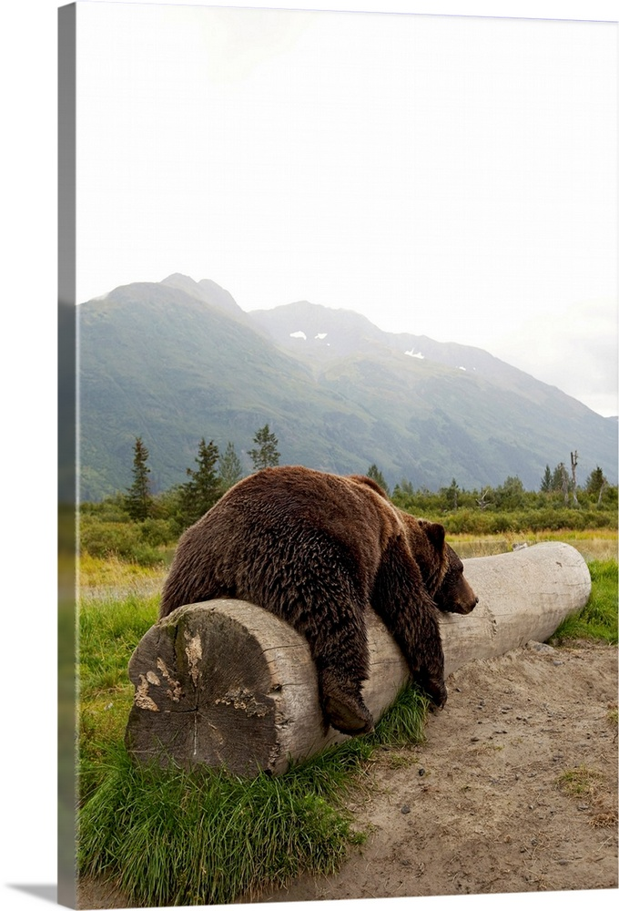 Large Solid-Faced Canvas Print Wall Art Print 20 x 30 entitled Adult Brown bear rests on a log at the Alaska Wildlife Cons... Solid-Faced Canvas Print entitled Adult Brown bear rests on a log at the Alaska Wildlife Conservation Center.  Adult brown bear takes a nap on a fallen log with Alaskan mountains in the background.  Multiple sizes available.  Primary colors within this image include Dark Yellow, Black, White, Dark Forest Green.  Made in USA.  All products come with a 365 day workmanship guarantee.  Archival-quality UV-resistant inks.  Canvas is handcrafted and made-to-order in the United States using high quality artist-grade canvas.  Featuring a proprietary design, our canvases produce the tightest corners without any bubbles, ripples, or bumps and will not warp or sag over time.