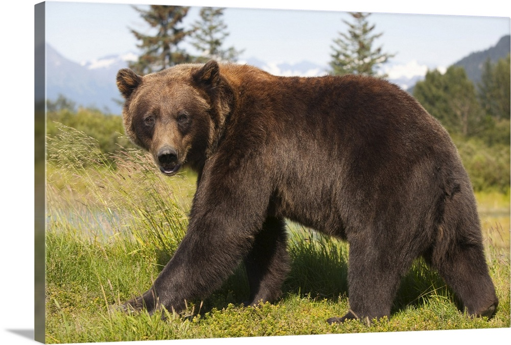 Large Solid-Faced Canvas Print Wall Art Print 30 x 20 entitled Adult Grizzly bear stands in profile and looks over shoulder Solid-Faced Canvas Print entitled Adult Grizzly bear stands in profile and looks over shoulder.  adult Grizzly bear stands in profile and looks over shoulder at the Alaska Wildlife Conservation Center, Southcentral Alaska.  Multiple sizes available.  Primary colors within this image include Peach, Light Yellow, White, Dark Forest Green.  Made in USA.  Satisfaction guaranteed.  Inks used are latex-based and designed to last.  Featuring a proprietary design, our canvases produce the tightest corners without any bubbles, ripples, or bumps and will not warp or sag over time.  Archival inks prevent fading and preserve as much fine detail as possible with no over-saturation or color shifting.