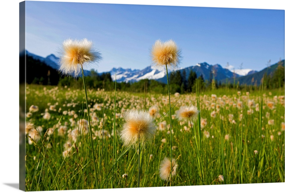 Large Solid-Faced Canvas Print Wall Art Print 30 x 20 entitled Alaska Cotton Grass in bloom in a meadow near Mendenhall To... Solid-Faced Canvas Print entitled Alaska Cotton Grass in bloom in a meadow near Mendenhall Towers and Coast Mountains.  Multiple sizes available.  Primary colors within this image include Dark Yellow, Peach, Sky Blue, Black.  Made in the USA.  All products come with a 365 day workmanship guarantee.  Inks used are latex-based and designed to last.  Canvas depth is 1.25 and includes a finished backing with pre-installed hanging hardware.  Archival inks prevent fading and preserve as much fine detail as possible with no over-saturation or color shifting.