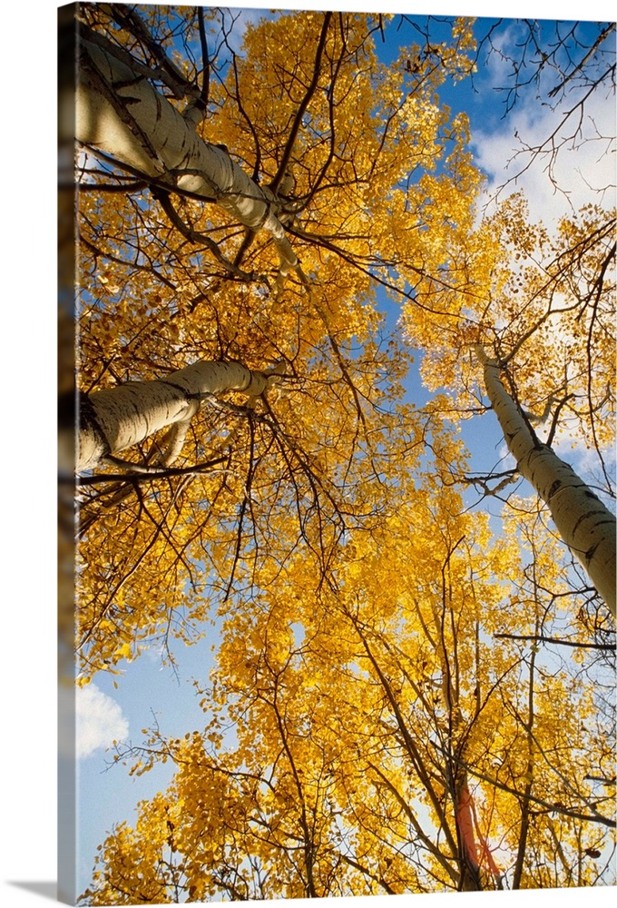 Large Solid-Faced Canvas Print Wall Art Print 20 x 30 entitled Aspen Trees Fall Colors Solid-Faced Canvas Print entitled Aspen Trees Fall Colors.  Multiple sizes available.  Primary colors within this image include Brown, Dark Yellow, White, Muted Blue.  Made in the USA.  Satisfaction guaranteed.  Archival-quality UV-resistant inks.  Featuring a proprietary design, our canvases produce the tightest corners without any bubbles, ripples, or bumps and will not warp or sag over time.  Canvas depth is 1.25 and includes a finished backing with pre-installed hanging hardware.