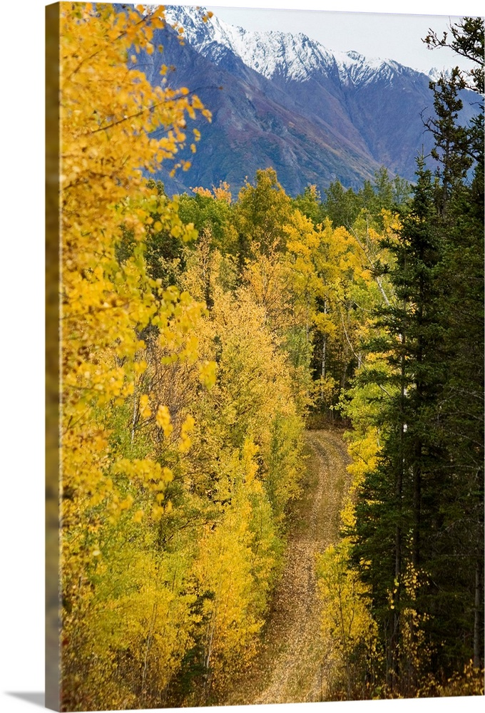 Large Solid-Faced Canvas Print Wall Art Print 20 x 30 entitled Autumn colors line a dirt road, Alaska Solid-Faced Canvas Print entitled Autumn colors line a dirt road, Alaska.  Multiple sizes available.  Primary colors within this image include Brown, Light Yellow, White, Dark Forest Green.  Made in the USA.  All products come with a 365 day workmanship guarantee.  Inks used are latex-based and designed to last.  Featuring a proprietary design, our canvases produce the tightest corners without any bubbles, ripples, or bumps and will not warp or sag over time.  Canvas depth is 1.25 and includes a finished backing with pre-installed hanging hardware.