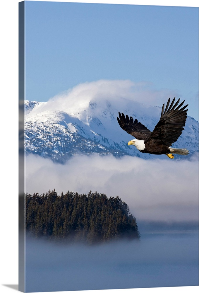 Large Solid-Faced Canvas Print Wall Art Print 20 x 30 entitled Bald Eagle in flight over the Inside Passage near Tongass N... Solid-Faced Canvas Print entitled Bald Eagle in flight over the Inside Passage near Tongass National Forest.  Multiple sizes available.  Primary colors within this image include Sky Blue, Black.  Made in USA.  Satisfaction guaranteed.  Archival-quality UV-resistant inks.  Archival inks prevent fading and preserve as much fine detail as possible with no over-saturation or color shifting.  Featuring a proprietary design, our canvases produce the tightest corners without any bubbles, ripples, or bumps and will not warp or sag over time.