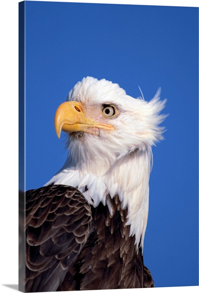 Large Solid-Faced Canvas Print Wall Art Print 20 x 30 entitled Bald Eagle Portrait Kenai Peninsula Winter AK Solid-Faced Canvas Print entitled Bald Eagle Portrait Kenai Peninsula Winter AK.  Multiple sizes available.  Primary colors within this image include Orange, Peach, Black, Royal Blue.  Made in the USA.  All products come with a 365 day workmanship guarantee.  Inks used are latex-based and designed to last.  Featuring a proprietary design, our canvases produce the tightest corners without any bubbles, ripples, or bumps and will not warp or sag over time.  Archival inks prevent fading and preserve as much fine detail as possible with no over-saturation or color shifting.