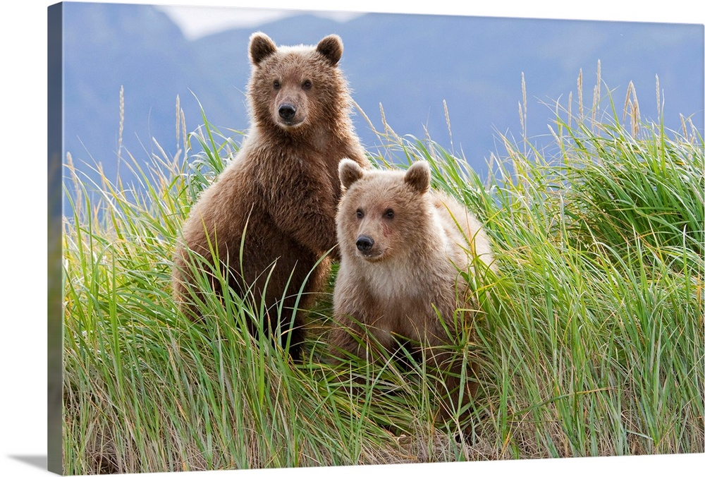 Large Solid-Faced Canvas Print Wall Art Print 30 x 20 entitled Bear cubs standing on a riverbank at Hallo Bay, Katmai Nati... Solid-Faced Canvas Print entitled Bear cubs standing on a riverbank at Hallo Bay, Katmai National park, Alaska.  Two bear cubs are on look out from a grassy riverbed in Alaska.  Multiple sizes available.  Primary colors within this image include Forest Green, Peach, Sky Blue, Black.  Made in the USA.  Satisfaction guaranteed.  Archival-quality UV-resistant inks.  Archival inks prevent fading and preserve as much fine detail as possible with no over-saturation or color shifting.  Featuring a proprietary design, our canvases produce the tightest corners without any bubbles, ripples, or bumps and will not warp or sag over time.