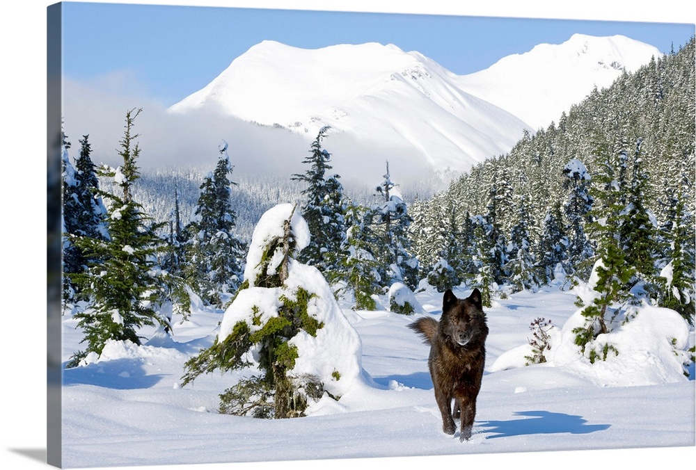 Large Solid-Faced Canvas Print Wall Art Print 30 x 20 entitled Black wolf in snow covered meadow in Alaskas Tongass Forest... Solid-Faced Canvas Print entitled Black wolf in snow covered meadow in Alaskas Tongass Forest near Coast Mountains.  Multiple sizes available.  Primary colors within this image include Dark Yellow, Black, Gray, White.  Made in the USA.  All products come with a 365 day workmanship guarantee.  Archival-quality UV-resistant inks.  Archival inks prevent fading and preserve as much fine detail as possible with no over-saturation or color shifting.  Canvas is handcrafted and made-to-order in the United States using high quality artist-grade canvas.