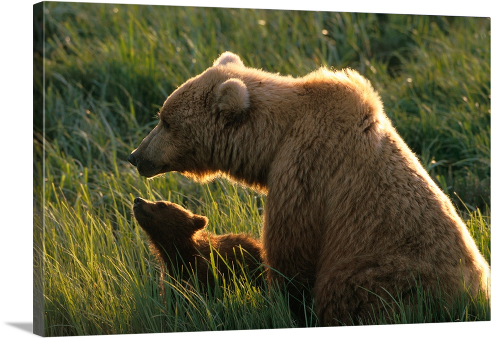 Large Gallery-Wrapped Canvas Wall Art Print 24 x 16 entitled Brown Bear and Cub in Grass McNeil River Game Sanctuary Gallery-Wrapped Canvas entitled Brown Bear and Cub in Grass McNeil River Game Sanctuary.  Multiple sizes available.  Primary colors within this image include Dark Yellow, Peach, Dark Gray, Light Gray.  Made in the USA.  All products come with a 365 day workmanship guarantee.  Inks used are latex-based and designed to last.  Canvases are stretched across a 1.5 inch thick wooden frame with easy-to-mount hanging hardware.  Canvas is acid-free and 20 millimeters thick.