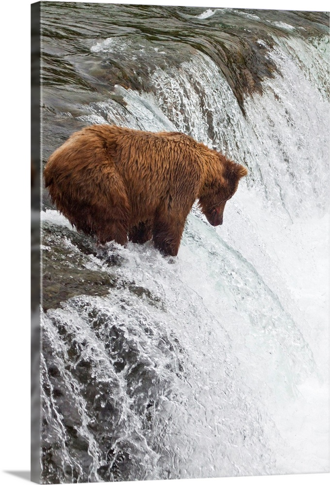 Large Solid-Faced Canvas Print Wall Art Print 20 x 30 entitled Brown bear at Brooks Falls on Brooks River, Katmai National... Solid-Faced Canvas Print entitled Brown bear at Brooks Falls on Brooks River, Katmai National Park, Alaska.  Multiple sizes available.  Primary colors within this image include Black, Gray, White.  Made in USA.  All products come with a 365 day workmanship guarantee.  Inks used are latex-based and designed to last.  Featuring a proprietary design, our canvases produce the tightest corners without any bubbles, ripples, or bumps and will not warp or sag over time.  Canvas is handcrafted and made-to-order in the United States using high quality artist-grade canvas.