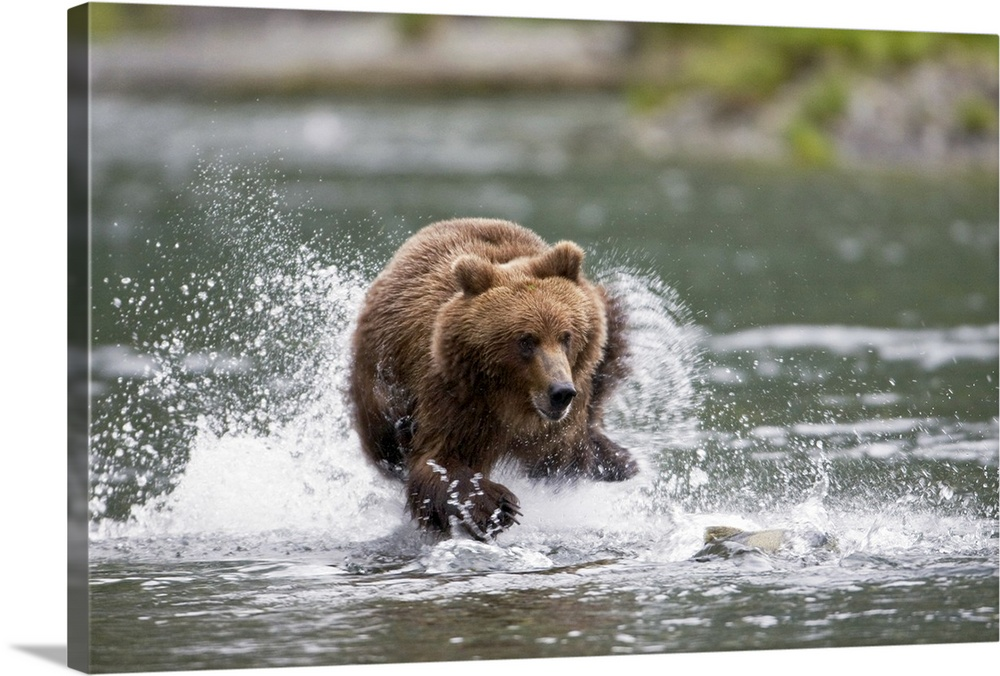 Large Solid-Faced Canvas Print Wall Art Print 30 x 20 entitled Brown bear chases salmon in a shallow stream Prince William... Solid-Faced Canvas Print entitled Brown bear chases salmon in a shallow stream Prince William Sound.  Big horizontal photograph of a large brown bear splashing while chasing a fish through a shallow stream, in Prince William Sound, Chugach National Forest, South central Alaska.  Multiple sizes available.  Primary colors within this image include Dark Yellow, Black, Gray, White.  Made in USA.  All products come with a 365 day workmanship guarantee.  Archival-quality UV-resistant inks.  Canvas depth is 1.25 and includes a finished backing with pre-installed hanging hardware.  Canvas is handcrafted and made-to-order in the United States using high quality artist-grade canvas.