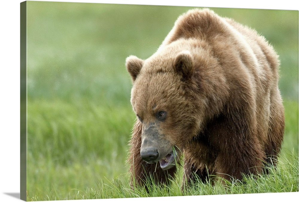 Large Solid-Faced Canvas Print Wall Art Print 30 x 20 entitled Brown bear eating sedge grasses in Hallo Bay Katmai Nationa... Solid-Faced Canvas Print entitled Brown bear eating sedge grasses in Hallo Bay Katmai National Park.  Brown bear eating sedge grasses in Hallo Bay, Katmai National Park, Southwest Alaska, Summer.  Multiple sizes available.  Primary colors within this image include Light Green, Black, Gray, White.  Made in the USA.  All products come with a 365 day workmanship guarantee.  Inks used are latex-based and designed to last.  Canvas depth is 1.25 and includes a finished backing with pre-installed hanging hardware.  Featuring a proprietary design, our canvases produce the tightest corners without any bubbles, ripples, or bumps and will not warp or sag over time.