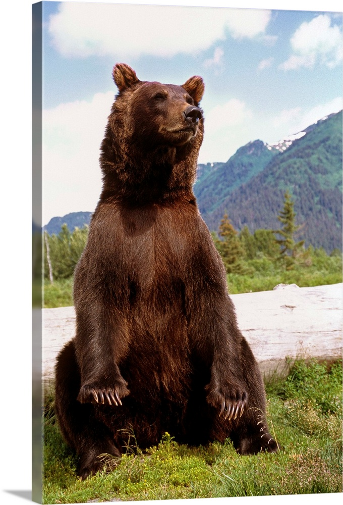 Large Solid-Faced Canvas Print Wall Art Print 20 x 30 entitled Brown Bear sits on its rump at the Alaska Wildlife Conserva... Solid-Faced Canvas Print entitled Brown Bear sits on its rump at the Alaska Wildlife Conservation Center, Alaska.  Multiple sizes available.  Primary colors within this image include Brown, Black, Gray, White.  Made in USA.  Satisfaction guaranteed.  Inks used are latex-based and designed to last.  Canvas depth is 1.25 and includes a finished backing with pre-installed hanging hardware.  Archival inks prevent fading and preserve as much fine detail as possible with no over-saturation or color shifting.