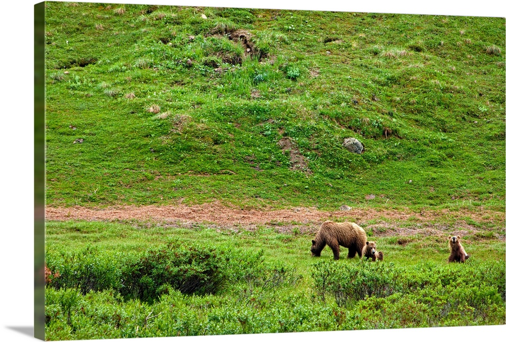 Large Solid-Faced Canvas Print Wall Art Print 30 x 20 entitled Brown Bear sow with two cubs foraging though the brush in D... Solid-Faced Canvas Print entitled Brown Bear sow with two cubs foraging though the brush in Denali National Park.  Multiple sizes available.  Primary colors within this image include Brown, Dark Yellow, Silver, Dark Forest Green.  Made in USA.  Satisfaction guaranteed.  Archival-quality UV-resistant inks.  Canvas is handcrafted and made-to-order in the United States using high quality artist-grade canvas.  Archival inks prevent fading and preserve as much fine detail as possible with no over-saturation or color shifting.