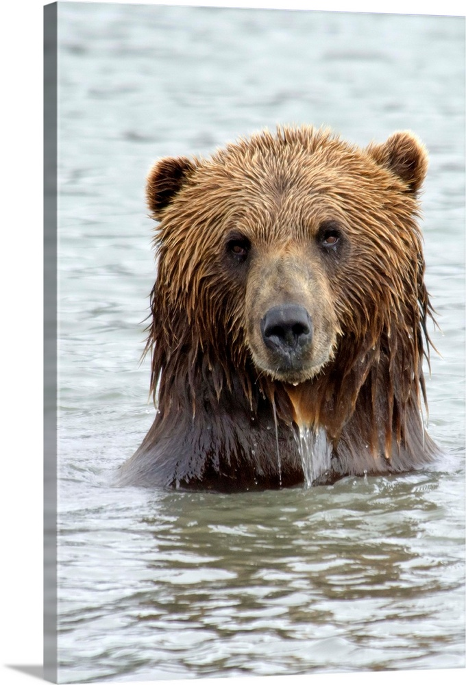 Large Gallery-Wrapped Canvas Wall Art Print 16 x 24 entitled Brown bear standing in lake with only head and shoulders abov... Gallery-Wrapped Canvas entitled Brown bear standing in lake with only head and shoulders above water.  Brwon bear standing in lake only head and shoulders above water staring right at camera.  Multiple sizes available.  Primary colors within this image include Dark Gray Gray White.  Made in the USA.  All products come with a 365 day workmanship guarantee.  Archival-quality UV-resistant inks.  Canvases have a UVB protection built in to protect against fading and moisture and are designed to last for over 100 years.  Museum-quality artist-grade canvas mounted on sturdy wooden stretcher bars 1.5 thick.  Comes ready to hang.