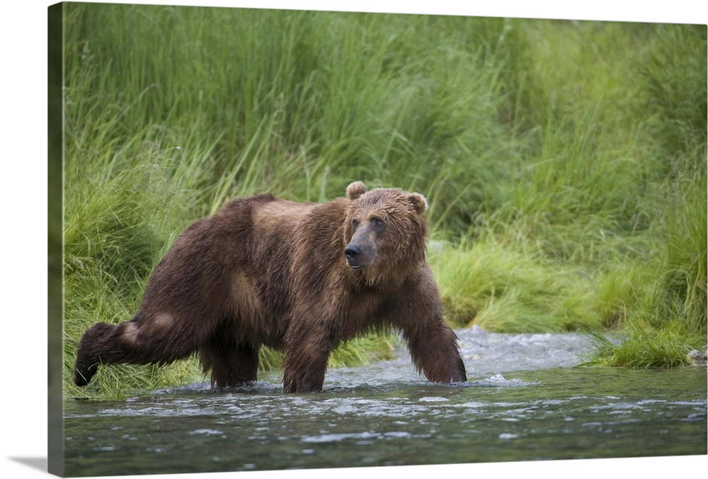 Large Solid-Faced Canvas Print Wall Art Print 30 x 20 entitled Brown Bear wades through a stream near Prince William Sound Solid-Faced Canvas Print entitled Brown Bear wades through a stream near Prince William Sound.  Brown Bear wades through a stream near Prince William Sound, Chugach Mountains, Chugach National Forest, Alaska, Southcentral, Summer.  Multiple sizes available.  Primary colors within this image include Forest Green, Dark Gray, Light Gray.  Made in USA.  All products come with a 365 day workmanship guarantee.  Archival-quality UV-resistant inks.  Canvas depth is 1.25 and includes a finished backing with pre-installed hanging hardware.  Archival inks prevent fading and preserve as much fine detail as possible with no over-saturation or color shifting.