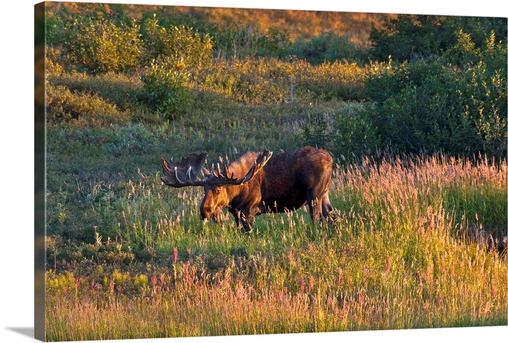 Large Solid-Faced Canvas Print Wall Art Print 30 x 20 entitled Bull moose stands on Fall colored tundra at sunset in Denal... Solid-Faced Canvas Print entitled Bull moose stands on Fall colored tundra at sunset in Denali National Park, Alaska.  Multiple sizes available.  Primary colors within this image include Brown, Pink, Light Yellow, Gray.  Made in the USA.  Satisfaction guaranteed.  Inks used are latex-based and designed to last.  Canvas depth is 1.25 and includes a finished backing with pre-installed hanging hardware.  Featuring a proprietary design, our canvases produce the tightest corners without any bubbles, ripples, or bumps and will not warp or sag over time.