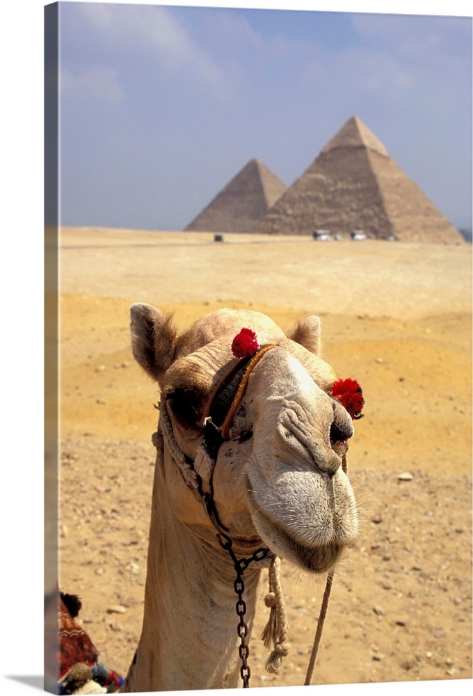 Large Solid-Faced Canvas Print Wall Art Print 20 x 30 entitled Camel Looking At Camera With Pyramids In The Background, Gi... Solid-Faced Canvas Print entitled Camel Looking At Camera With Pyramids In The Background, Giza, Egypt.  Multiple sizes available.  Primary colors within this image include Dark Red, Peach, Black, Light Gray Blue.  Made in USA.  All products come with a 365 day workmanship guarantee.  Inks used are latex-based and designed to last.  Archival inks prevent fading and preserve as much fine detail as possible with no over-saturation or color shifting.  Canvas depth is 1.25 and includes a finished backing with pre-installed hanging hardware.