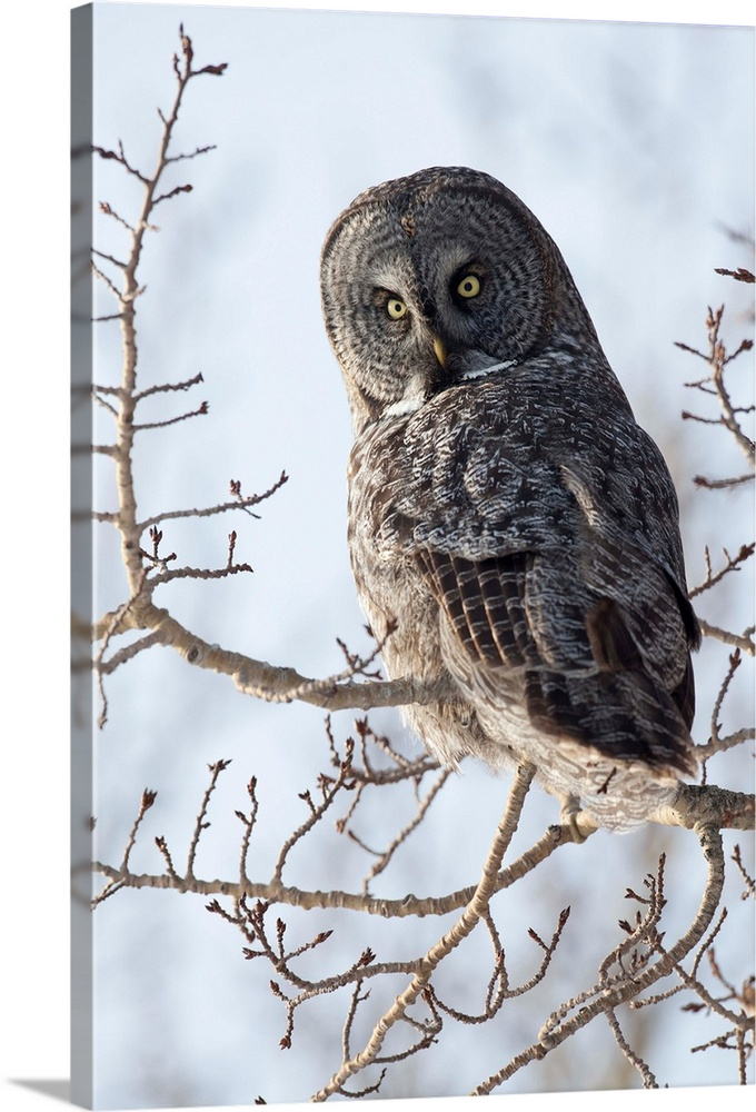 Large Gallery-Wrapped Canvas Wall Art Print 16 x 24 entitled Close up of a Great Gray Owl perched in a tree, Anchorage, So... Gallery-Wrapped Canvas entitled Close up of a Great Gray Owl perched in a tree Anchorage Southcentral Alaska Winter.  Great Gray owl in West Anchorage during the winter of 2012. Owl is looking at camera. Southcentral Alaska. Winter.  Multiple sizes available.  Primary colors within this image include Black Gray White.  Made in USA.  All products come with a 365 day workmanship guarantee.  Inks used are latex-based and designed to last.  Canvas frames are built with farmed or reclaimed domestic pine or poplar wood.  Canvas is acid-free and 20 millimeters thick.