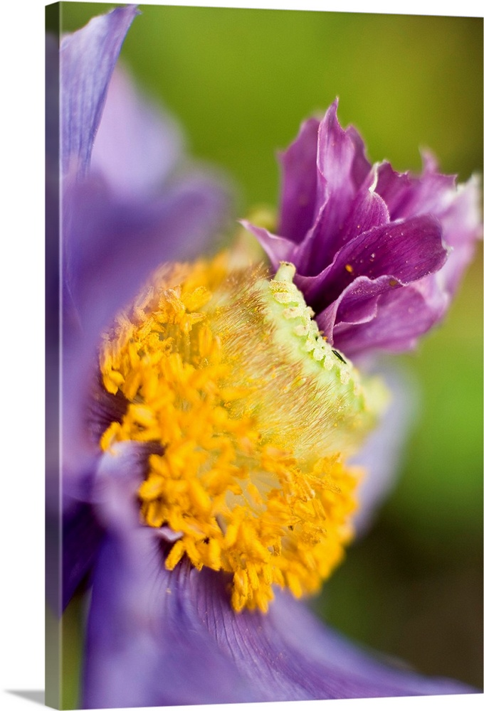 Large Solid-Faced Canvas Print Wall Art Print 20 x 30 entitled Close up of a Himalayan poppy growing in Anchorage. Summer ... Solid-Faced Canvas Print entitled Close up of a Himalayan poppy growing in Anchorage. Summer in Southcentral Alaska.  Close-up of a Himalayan poppy grown in Anchorage, Alaska.  Multiple sizes available.  Primary colors within this image include Orange, Dark Yellow, Dark Blue, Dark Forest Green.  Made in USA.  All products come with a 365 day workmanship guarantee.  Inks used are latex-based and designed to last.  Canvas is handcrafted and made-to-order in the United States using high quality artist-grade canvas.  Archival inks prevent fading and preserve as much fine detail as possible with no over-saturation or color shifting.