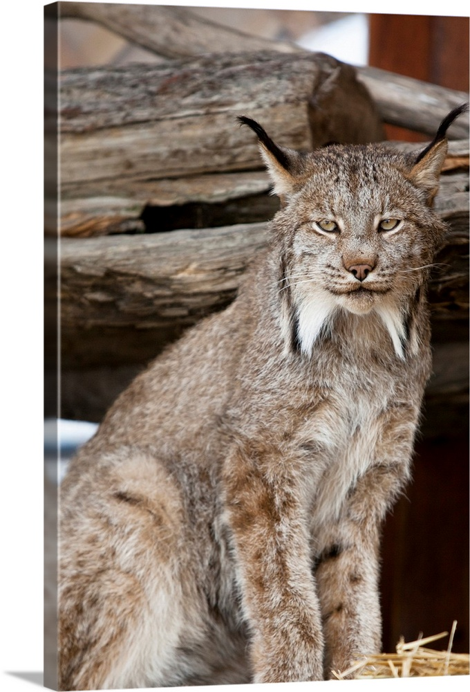 Large Solid-Faced Canvas Print Wall Art Print 20 x 30 entitled Close up of a Lynx at the Alaska Wildlife Conservation Cent... Solid-Faced Canvas Print entitled Close up of a Lynx at the Alaska Wildlife Conservation Center, Southcentral Alaska.  A captive Lynx looks at camera.  Portrait shot.  Southcentral Alaska at AWCC.  Late summer.  Multiple sizes available.  Primary colors within this image include Black, Gray, White.  Made in the USA.  Satisfaction guaranteed.  Inks used are latex-based and designed to last.  Canvas is handcrafted and made-to-order in the United States using high quality artist-grade canvas.  Archival inks prevent fading and preserve as much fine detail as possible with no over-saturation or color shifting.
