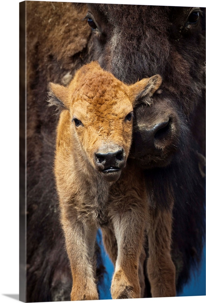 Large Gallery-Wrapped Canvas Wall Art Print 16 x 24 entitled Close up of a newborn Wood Bison calf and mother, Alaska Wild... Gallery-Wrapped Canvas entitled Close up of a newborn Wood Bison calf and mother Alaska Wildlife Conservatiion Center.  A few-day-old Wood bison calf looks at camera while its protective mother snuggles against it. Captive. AWCC. Southcentral Alaska. Summer.  Multiple sizes available.  Primary colors within this image include Peach Dark Gray.  Made in the USA.  All products come with a 365 day workmanship guarantee.  Inks used are latex-based and designed to last.  Canvas is acid-free and 20 millimeters thick.  Canvas frames are built with farmed or reclaimed domestic pine or poplar wood.