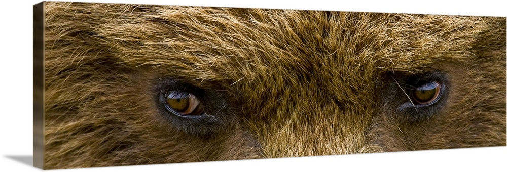 Large Solid-Faced Canvas Print Wall Art Print 48 x 16 entitled Close up of Brown bears eyes in Hallo Bay Katmai National P... Solid-Faced Canvas Print entitled Close up of Brown bears eyes in Hallo Bay Katmai National Park Southwest Alaska.  A panoramic photograph taken very closely of just a brown bears eyes.  Multiple sizes available.  Primary colors within this image include Peach, Dark Forest Green.  Made in the USA.  Satisfaction guaranteed.  Archival-quality UV-resistant inks.  Featuring a proprietary design, our canvases produce the tightest corners without any bubbles, ripples, or bumps and will not warp or sag over time.  Canvas depth is 1.25 and includes a finished backing with pre-installed hanging hardware.
