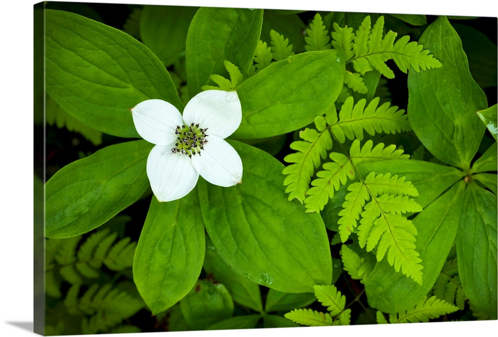 Large Solid-Faced Canvas Print Wall Art Print 30 x 20 entitled Close up of dwarf dogwood flower and ferns, Turnagain Pass ... Solid-Faced Canvas Print entitled Close up of dwarf dogwood flower and ferns, Turnagain Pass area of the Kenai Peninsula.  Multiple sizes available.  Primary colors within this image include Forest Green, Black, White, Lime Green.  Made in USA.  Satisfaction guaranteed.  Archival-quality UV-resistant inks.  Archival inks prevent fading and preserve as much fine detail as possible with no over-saturation or color shifting.  Featuring a proprietary design, our canvases produce the tightest corners without any bubbles, ripples, or bumps and will not warp or sag over time.