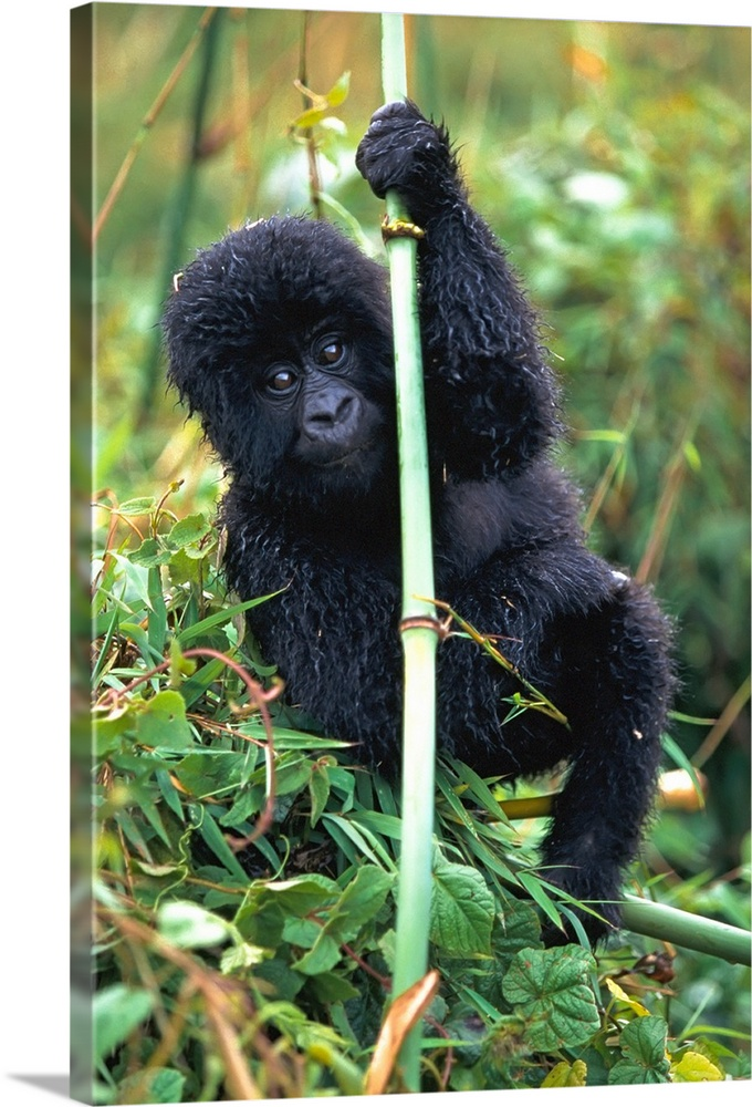 Large Solid-Faced Canvas Print Wall Art Print 20 x 30 entitled Close-Up Of Young Gorilla, Looking At Camera Solid-Faced Canvas Print entitled Close-Up Of Young Gorilla, Looking At Camera.  Multiple sizes available.  Primary colors within this image include Forest Green, Black, White, Lime Green.  Made in the USA.  All products come with a 365 day workmanship guarantee.  Archival-quality UV-resistant inks.  Canvas is handcrafted and made-to-order in the United States using high quality artist-grade canvas.  Featuring a proprietary design, our canvases produce the tightest corners without any bubbles, ripples, or bumps and will not warp or sag over time.
