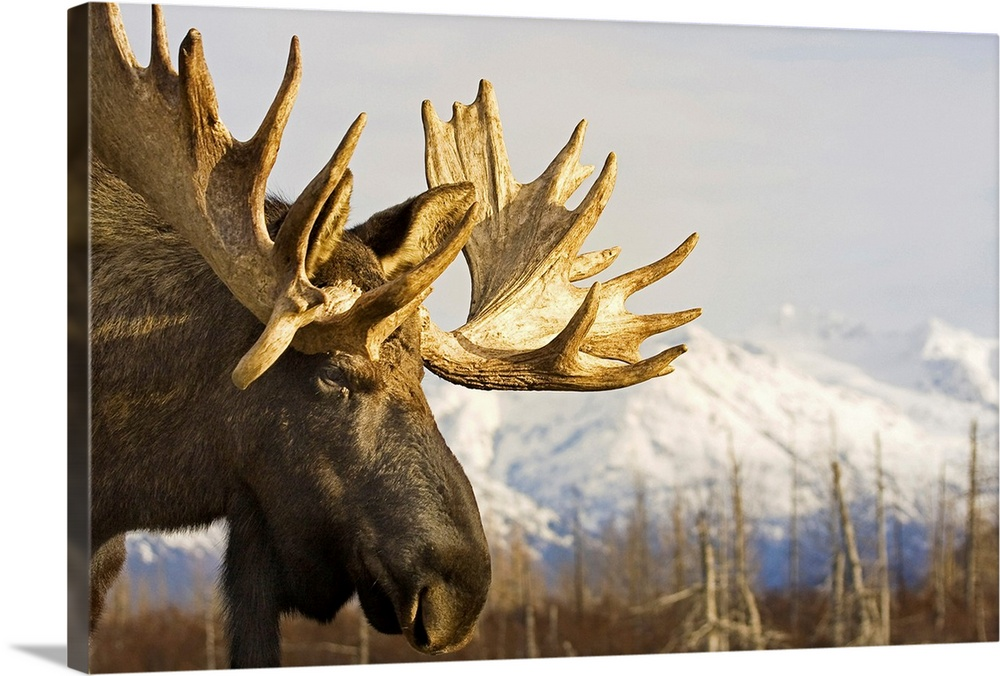 Large Solid-Faced Canvas Print Wall Art Print 30 x 20 entitled Close up profile of an adult moose at the Alaska Wildlife C... Solid-Faced Canvas Print entitled Close up profile of an adult moose at the Alaska Wildlife Conservation Center.  Multiple sizes available.  Primary colors within this image include Peach, Gray, Dark Forest Green.  Made in the USA.  All products come with a 365 day workmanship guarantee.  Inks used are latex-based and designed to last.  Canvas depth is 1.25 and includes a finished backing with pre-installed hanging hardware.  Canvas is handcrafted and made-to-order in the United States using high quality artist-grade canvas.