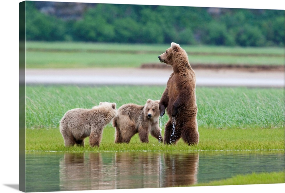 Large Solid-Faced Canvas Print Wall Art Print 30 x 20 entitled Coastal Brown Bear sow with her two cubs at Hallo Bay, Katm... Solid-Faced Canvas Print entitled Coastal Brown Bear sow with her two cubs at Hallo Bay, Katmai National Park, Alaska.  Multiple sizes available.  Primary colors within this image include Light Green, Dark Gray, Gray.  Made in USA.  Satisfaction guaranteed.  Archival-quality UV-resistant inks.  Canvas is handcrafted and made-to-order in the United States using high quality artist-grade canvas.  Canvas depth is 1.25 and includes a finished backing with pre-installed hanging hardware.