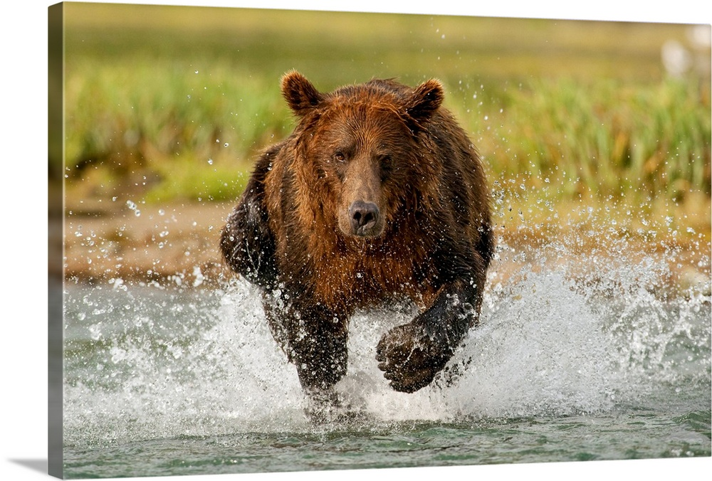 Large Solid-Faced Canvas Print Wall Art Print 30 x 20 entitled Coastal Grizzly boar fishing at Geographic Harbor, Katmai N... Solid-Faced Canvas Print entitled Coastal Grizzly boar fishing at Geographic Harbor, Katmai National Park, Alaska.  Multiple sizes available.  Primary colors within this image include Dark Yellow, Black, Silver.  Made in the USA.  Satisfaction guaranteed.  Inks used are latex-based and designed to last.  Featuring a proprietary design, our canvases produce the tightest corners without any bubbles, ripples, or bumps and will not warp or sag over time.  Archival inks prevent fading and preserve as much fine detail as possible with no over-saturation or color shifting.