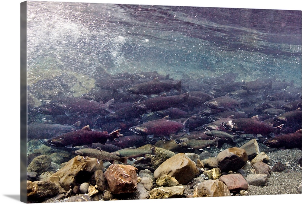 Large Solid-Faced Canvas Print Wall Art Print 30 x 20 entitled Coho salmon migrating to freshwater spawning grounds, Power... Solid-Faced Canvas Print entitled Coho salmon migrating to freshwater spawning grounds, Power Creek, Near Cordova.  Multiple sizes available.  Primary colors within this image include Brown, Black, Gray, White.  Made in the USA.  Satisfaction guaranteed.  Archival-quality UV-resistant inks.  Archival inks prevent fading and preserve as much fine detail as possible with no over-saturation or color shifting.  Canvas depth is 1.25 and includes a finished backing with pre-installed hanging hardware.
