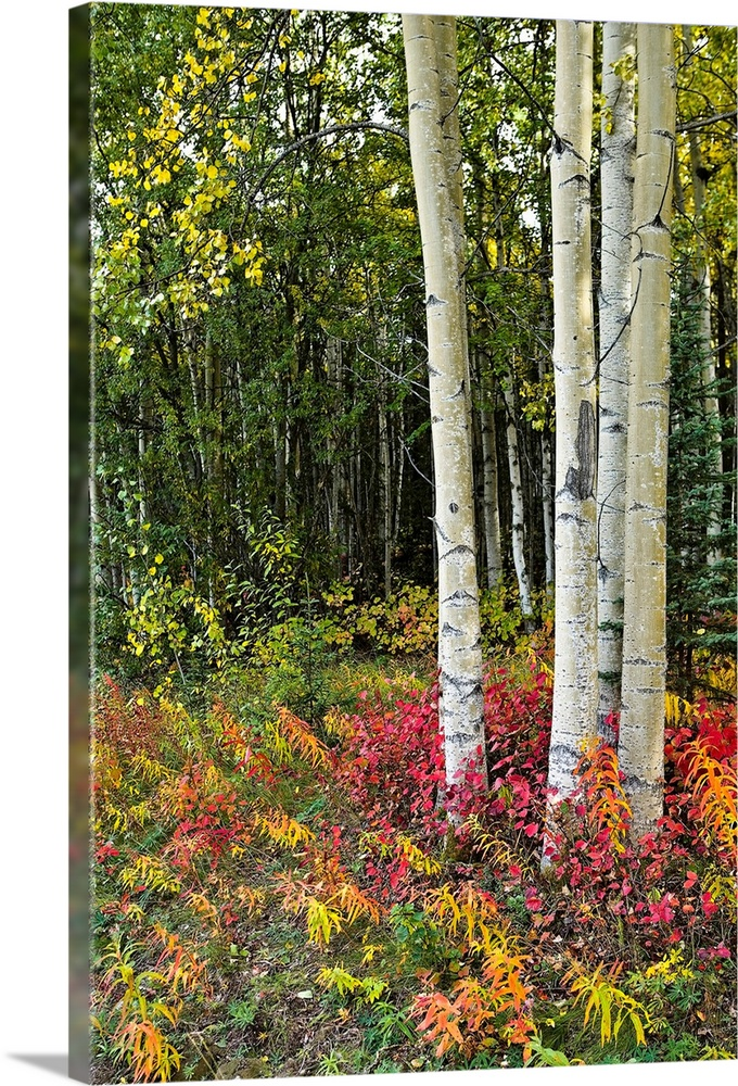 Large Solid-Faced Canvas Print Wall Art Print 20 x 30 entitled Colorful view of Aspen tree trunks and Fall foliage, Kenai ... Solid-Faced Canvas Print entitled Colorful view of Aspen tree trunks and Fall foliage, Kenai Peninsula in Southcentral.  This vertical wall art shows a cluster of a trees growing in a forest surrounded by rainbow colored ground cover.  Multiple sizes available.  Primary colors within this image include Peach, Light Yellow, Black, Dark Forest Green.  Made in USA.  All products come with a 365 day workmanship guarantee.  Inks used are latex-based and designed to last.  Archival inks prevent fading and preserve as much fine detail as possible with no over-saturation or color shifting.  Featuring a proprietary design, our canvases produce the tightest corners without any bubbles, ripples, or bumps and will not warp or sag over time.