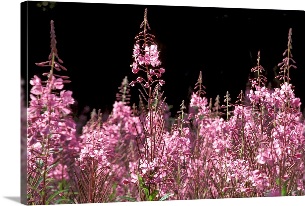 Large Solid-Faced Canvas Print Wall Art Print 30 x 20 entitled Detail of Fireweed in Bloom Alaska Summer Solid-Faced Canvas Print entitled Detail of Fireweed in Bloom Alaska Summer.  Multiple sizes available.  Primary colors within this image include Light Purple, Black, Dark Gray, White.  Made in the USA.  All products come with a 365 day workmanship guarantee.  Archival-quality UV-resistant inks.  Archival inks prevent fading and preserve as much fine detail as possible with no over-saturation or color shifting.  Featuring a proprietary design, our canvases produce the tightest corners without any bubbles, ripples, or bumps and will not warp or sag over time.