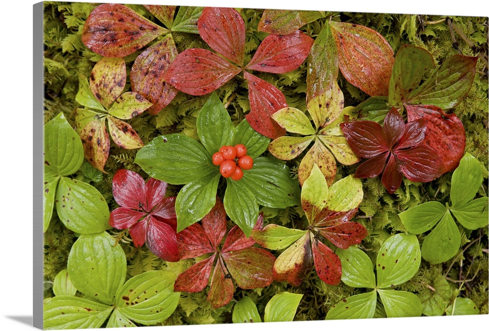 Large Solid-Faced Canvas Print Wall Art Print 30 x 20 entitled Dwarf Dogwood growing from a bed of dense mosses, Tongass N... Solid-Faced Canvas Print entitled Dwarf Dogwood growing from a bed of dense mosses, Tongass National Forest, Alaska.  Multiple sizes available.  Primary colors within this image include Dark Red, Dark Forest Green, Lime Green.  Made in the USA.  Satisfaction guaranteed.  Archival-quality UV-resistant inks.  Featuring a proprietary design, our canvases produce the tightest corners without any bubbles, ripples, or bumps and will not warp or sag over time.  Archival inks prevent fading and preserve as much fine detail as possible with no over-saturation or color shifting.